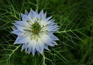 "Nigella: ""Love in a mist"""